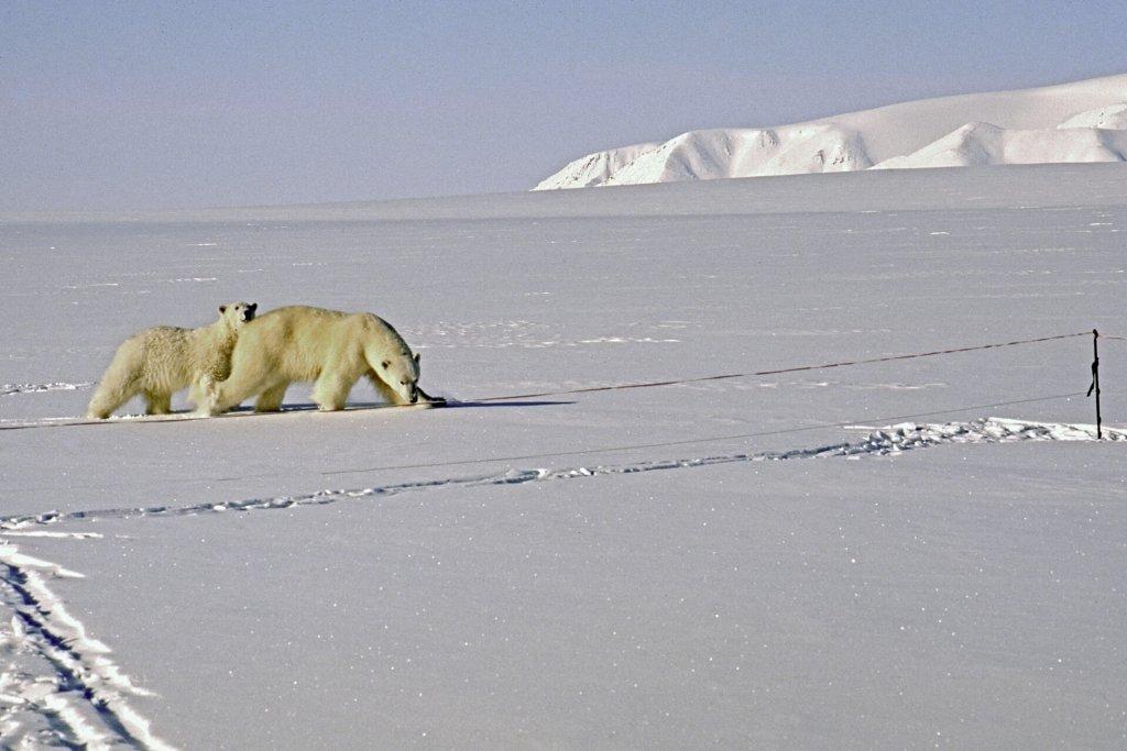 Les ours devant la tente au camp 13 le 8 mai 1999.