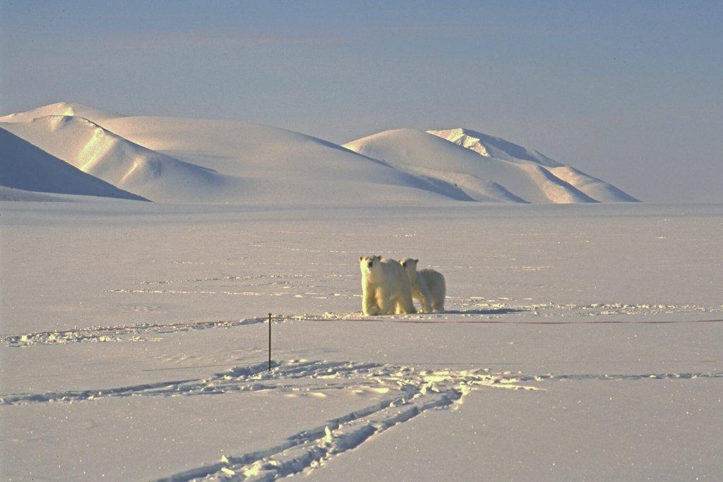 Les ours arrivent au camp 13 le matin du 8 mai 1999.La tente est à moins de 10m de la clôture bien visible.