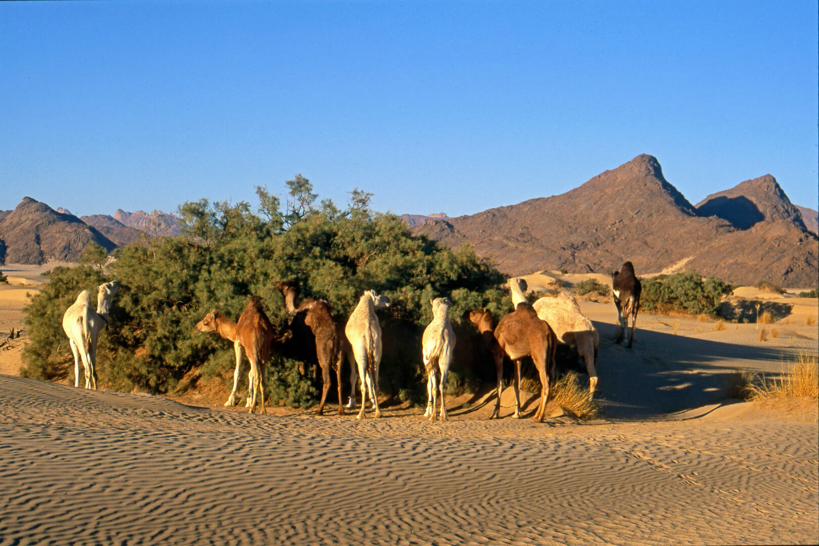 Les chameaux se nourrissent des branches d'acacia