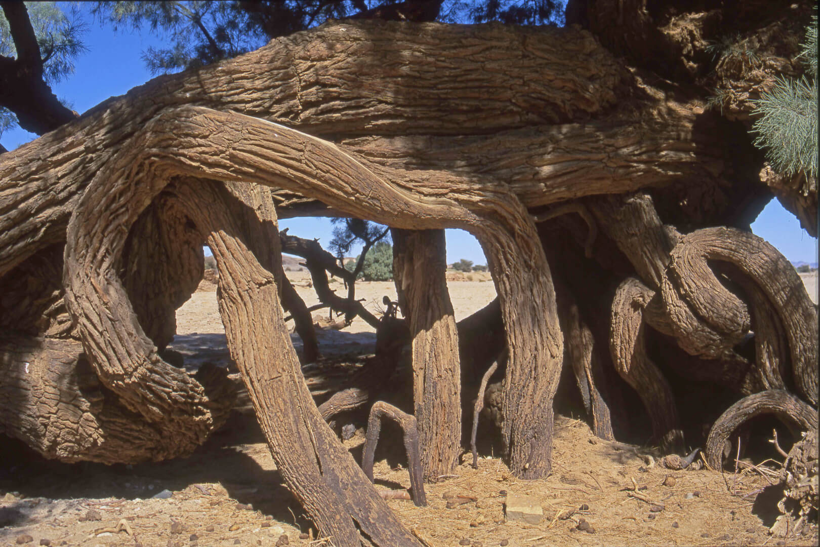 Raçines de l'acacia