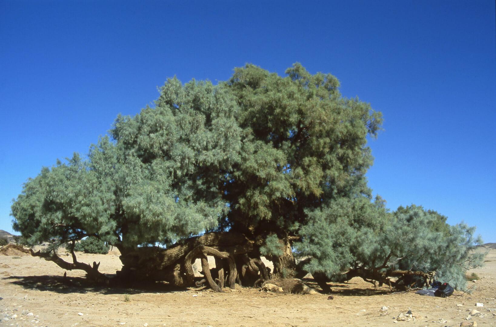 Acacia sans doute plus que centenaire