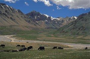 Troupeaux de yacks au Shimshal Pass (4820m). 21 Juillet 1995.
