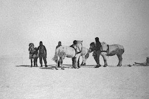 4 poneys à l'entraînement sur la glace de mer.
